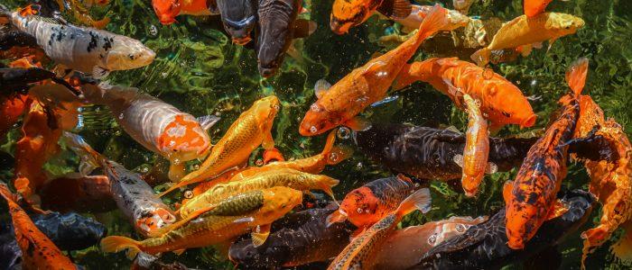 Koi Carp feeding time at Matlock Bath Aquarium